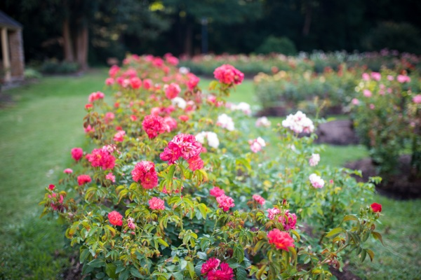 Image result for photos at The Raleigh Rose Garden